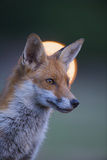 Urban Red Fox (Vulpes Vulpes) Portrait  with Light Behind  London  June 2009
