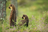 Pine Marten (Martes Martes) Rear View of Adult Female Standing Up with 4-5 Month Kit  Scotland  UK