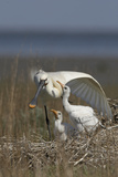 Spoonbill (Platalea Leucorodia) Stretching Wing at Nest with Two Chicks  Texel  Netherlands  May