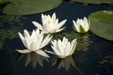 Fragrant Water Lily (Nymphaea Odorata) Flowers on Lake Skadar  Lake Skadar Np  Montenegro  May 2008
