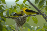 Golden Oriole (Oriolus Oriolus) Pair at Nest  Bulgaria  May 2008