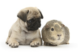 Fawn Pug Puppy  8 Weeks  and Guinea Pig