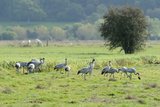 Juvenile Common - Eurasian Cranes (Grus Grus) Released onto the Somerset Levels and Moors  UK