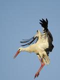 White Stork (Ciconia Ciconia) Landing  La Serena  Extremadura  Spain  March 2009