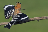 Hoopoe (Upupa Epops) Landing on Branch  Hortobagy Np  Hungary