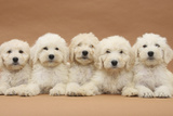 Five Labradoodle Puppies  9 Weeks