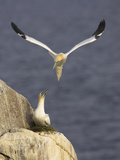Northern Gannets (Morus Bassanus) Pair at Nest  Saltee Islands  Ireland  June 2009
