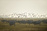 Hungarian Grey Cattle (Bos Primigenius Taurus Hungaricus) with European Starlings Overhead  Hungary
