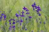 Forking Larkspur (Delphinium Consolida - Consolida Regalis) in Flower  East Slovakia  Europe
