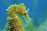 Short Snouted Seahorse (Hippocampus Hippocampus) Profile  Malta  Mediteranean  June
