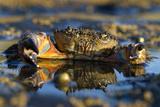 Crab (Eriphia Verrucosa) in Shallow Water, Alentejo, Portugal Papier Photo par Quinta