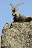Male Spanish Ibex (Capra Pyrenaica) Lying on Rock  Sierra De Gredos  Spain  November 2008