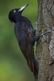 Black Woodpecker (Dryocopus Martius) Pusztaszer  Hungary  May 2008