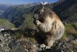 Alpine Marmot (Marmota Marmota) Feeding  Hohe Tauern Np  Austria  July 2008
