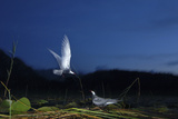 Whiskered Tern (Chlidonias Hybrida) Landing at Nest at Night  Lake Skadar Np  Montenegro  May