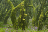 Laurisilva Forest  Laurus Azorica Among Other Trees  Garajonay Np  La Gomera  Canary Islands  Spain