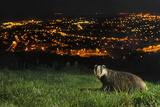 European Badger (Meles Meles) on the North Downs Above Folkestone Kent  UK  June