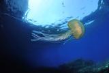 Purple Stinger - Common Jellyfish (Pelagia Noctiluca) Malta  Mediteranean  May 2009