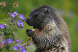 Alpine Marmot (Marmota Marmota) Feeding on Flowers  Hohe Tauern National Park  Austria  July 2008
