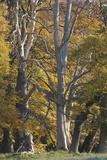 European Oak (Quercus Robur) Trees  Klampenborg Dyrehaven  Denmark  October 2008