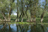 Willow Trees (Salix) Growing in Water  Lake Skadar  Lake Skadar National Park  Montenegro  May 2008