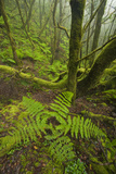 Laurisilva Forest  Laurus Azorica Among Other Trees in Garajonay Np  La Gomera  Canary Islands  May