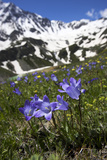Bellflowers with Lake Donguzorun and Donguzorumn Mountains Behind  Caucasus  Russia  June