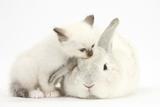 Colourpoint Kitten and White Rabbit