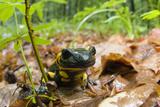 Fire Salamander (Salamandra Salamandra) Portrait  Male Morske Oko Reserve  Slovakia  Europe  June