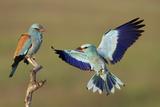European Roller (Coracias Garrulus) Courtship Display  Pusztaszer  Hungary