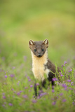 Pine Marten (Martes Martes) Female Portrait in Caledonian Forest  Highlands  Scotland  UK