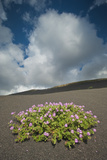 Herb Robert Flowering in Lava Field  La Geria Area  Lanzarote  Canary Islands  Spain  March