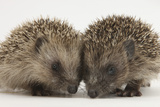 Two Baby Hedgehogs (Erinaceus Europaeus)