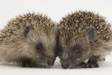 Two Baby Hedgehogs (Erinaceus Europaeus)