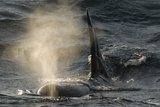 Killer Whale - Orca (Orcinus Orca) Blowing at Surface  Kristiansund  Nordmøre  Norway  February