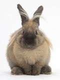 Lionhead-Cross Rabbit Resting Portrait