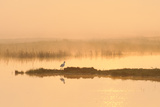 Avocet (Recurvirostra Avosetta) in Mist on Grazing Marsh at Dawn  Thames Estuary  North Kent  UK