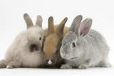 Three Baby Rabbits