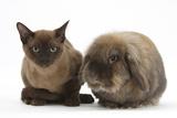 Young Burmese Cat and Lionhead Rabbit