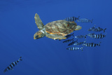 Loggerhead Turtle (Caretta Caretta) with a Shoal of Pilot Fish  Pico  Azores  Portugal  June