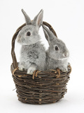 Two Silver Baby Rabbits in a Wicker Basket