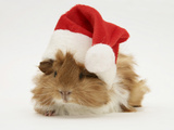 Guinea-Pig Wearing a Father Christmas Hat