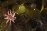 Kelp with Common - Red Sunstar (Crossaster Papposus) and Shells  Moere Coastline  Norway