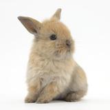 Baby Lionhead Lop Cross Rabbit