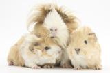 Long-Haired Mother Guinea Pig and Babies