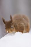 Red Squirrel (Sciurus Vulgaris) Foraging in Snow  Glenfeshie  Cairngorms Np  Scotland  February