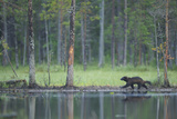 Wild Eurasian Wolverine (Gulo Gulo) Walking Along Waters Edge  Kuhmo  Finland  July 2008