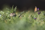 European Souslik (Spermophilus Citellus) Watching Painted Lady Butterfly (Cynthia Cardui) Slovakia