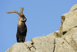 Male Spanish Ibex (Capra Pyrenaica) on Rocks  Sierra De Gredos  Spain  November 2008