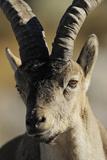 Male Spanish Ibex (Capra Pyrenaica) Portrait  Sierra De Gredos  Spain  November 2008